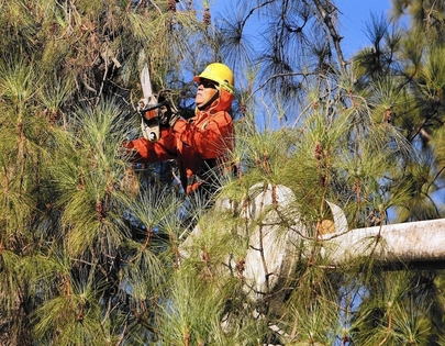 Picture of our slimber in a large tree trimming dead branches off for a customer in Evanston, IL