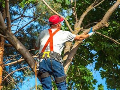 Picure of our climber in a tree trimmng branches for our customer in Evanston, IL